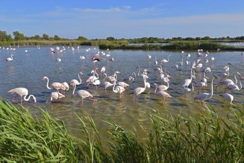 Flamingos in der Camargue in der Provence im Süden Frankreichs