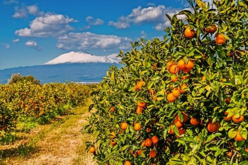 Orangenplantage am Fuße des schneebedeckten Ätna; Sizilien