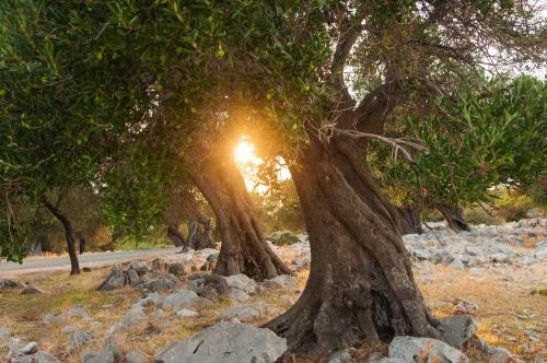 Sonnenuntergang über einem Olivenhain