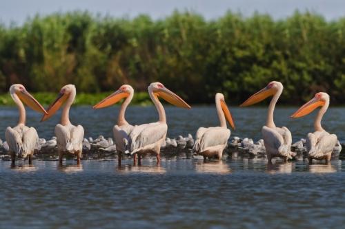 Pelikane im Donaudelta, Rumänien
