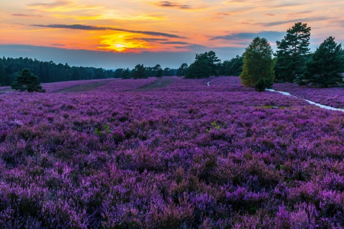 Lüneburger Heide im Sonneuntergang, Deutschland