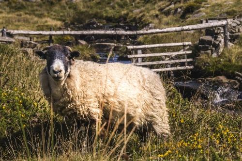Schaf im Dartmoor Nationalpark in Devon, Vereinigtes Königreich