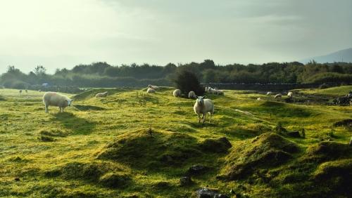 Sheeps in irish field