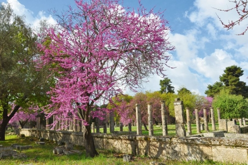 Kirsche und Palaestra von Olympia