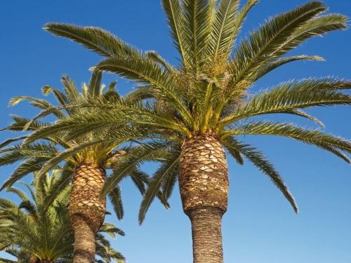 Palmen - Kanarische Dattelpalme - Phönix-Palmen