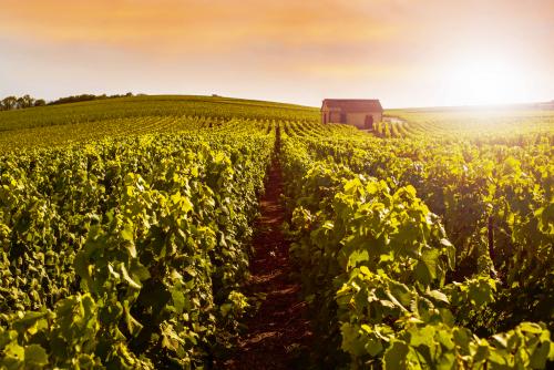 Champagne Weinberge bei Sonnenuntergang,Montagne de Reims,Frankreich