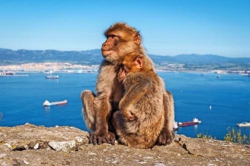 Sitzen Barbary Makaken auf dem Felsen von Gibraltar